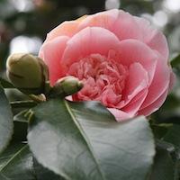 Budding Rose - Awaken and Transform